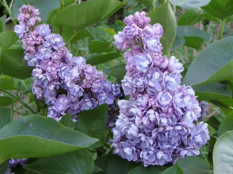 "In the photo: lilac, grade ""AMI SCHOTT""."