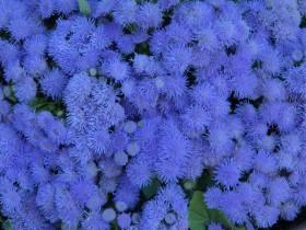 Агератум синий в саду.