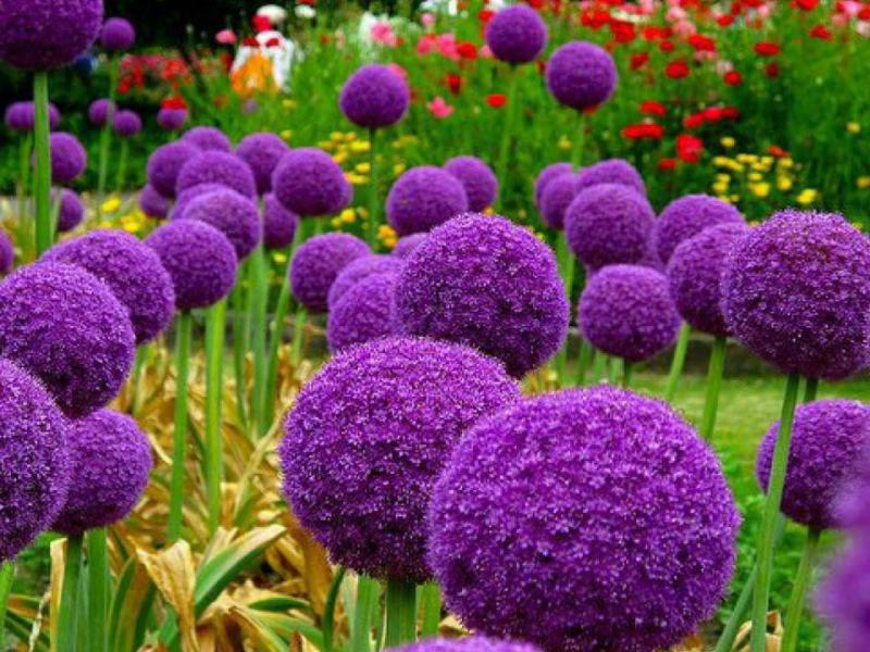 Allium - decorative bows.