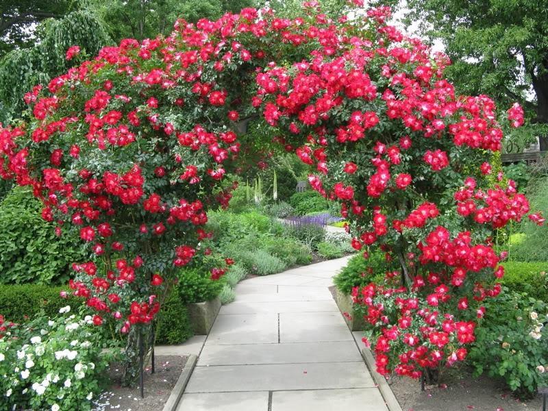 Арка с плетистой розой в саду.