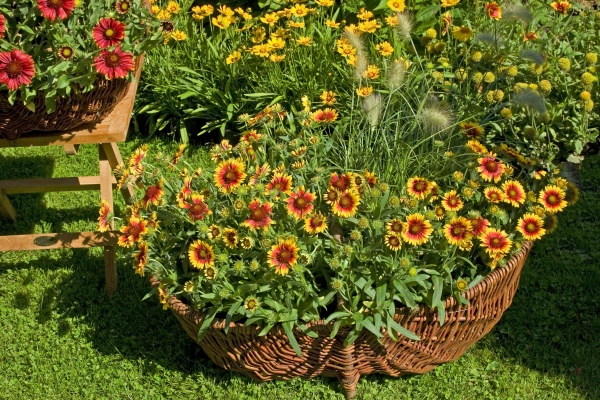 "Гайллардия остиста, сорт ""Санбест Єллоу"", висаджена у велику корзину."