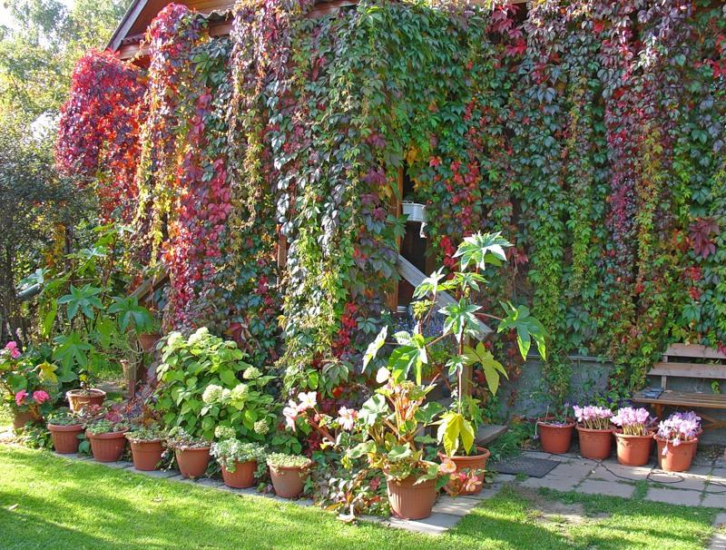 Девичий виноград в ландшафтном дизайне.