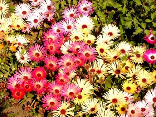 Роскошный цветочный ковер из разноцветных растений.