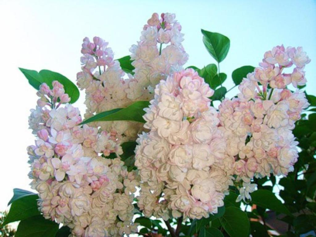 "Lilac, grade ""Beauty Of Moscow""."