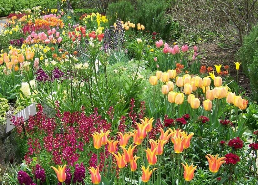 Луковичные цветы в миксбордере.