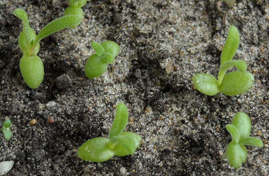 Мезембриантемум: рассада, выращивание.