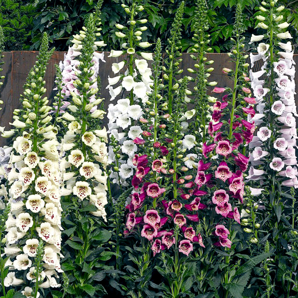 Foxglove in the garden.