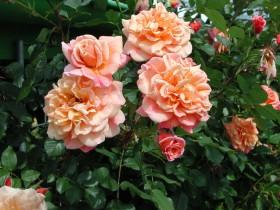 """Плетистая роза """"Алоха""""."""