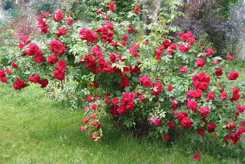"""Плетистая роза сорта """"Фламментанц"""" при выращивании без опоры."""