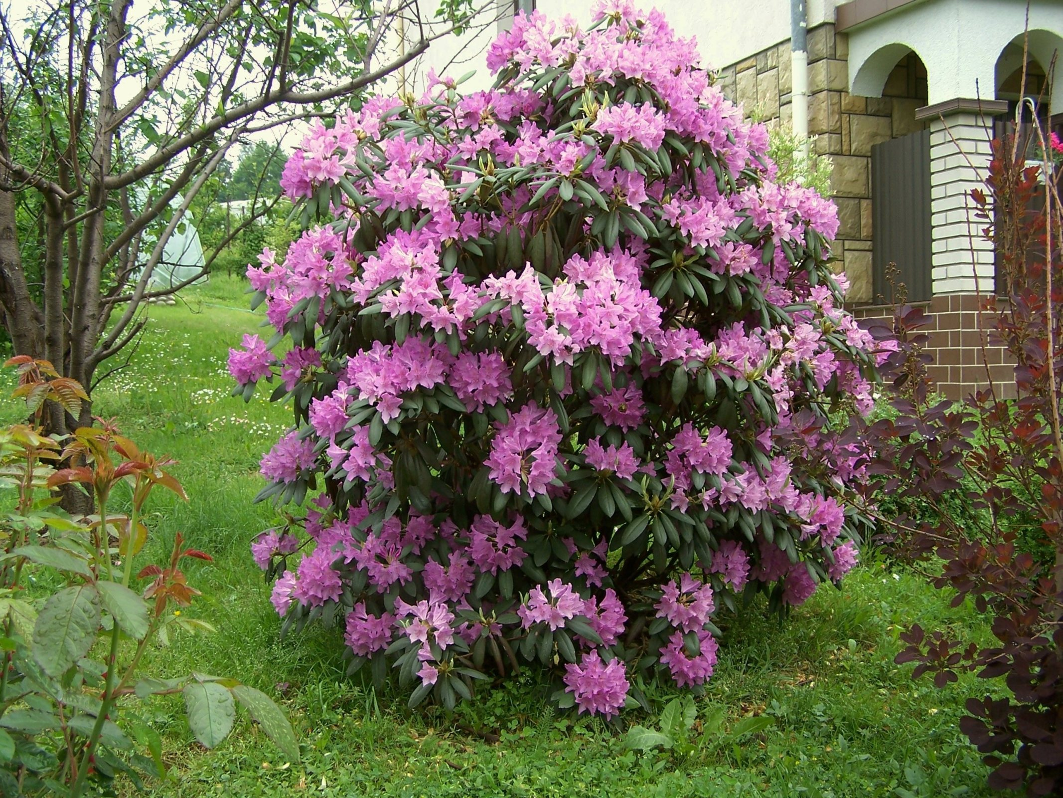 Rhododendron catawbiense in the landscape.