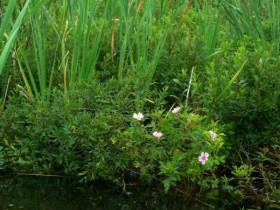 Молодая болотная роза.