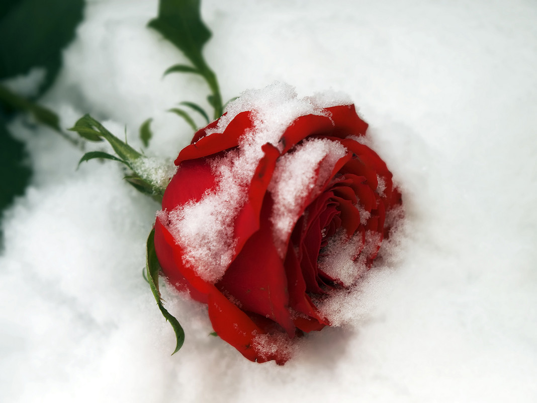 Rose in the snow.