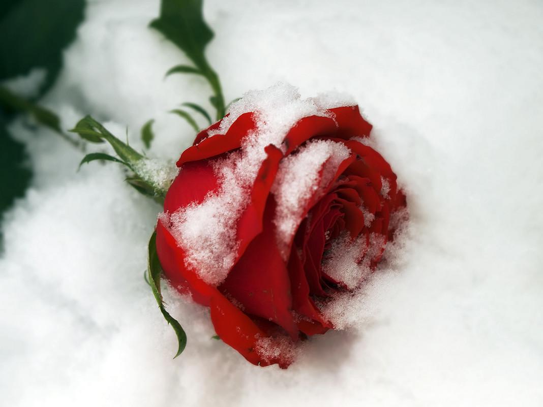 Роза на снегу.