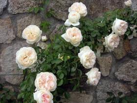 "Роза плетистая ""Мон Жарден э Ма Мезон""."