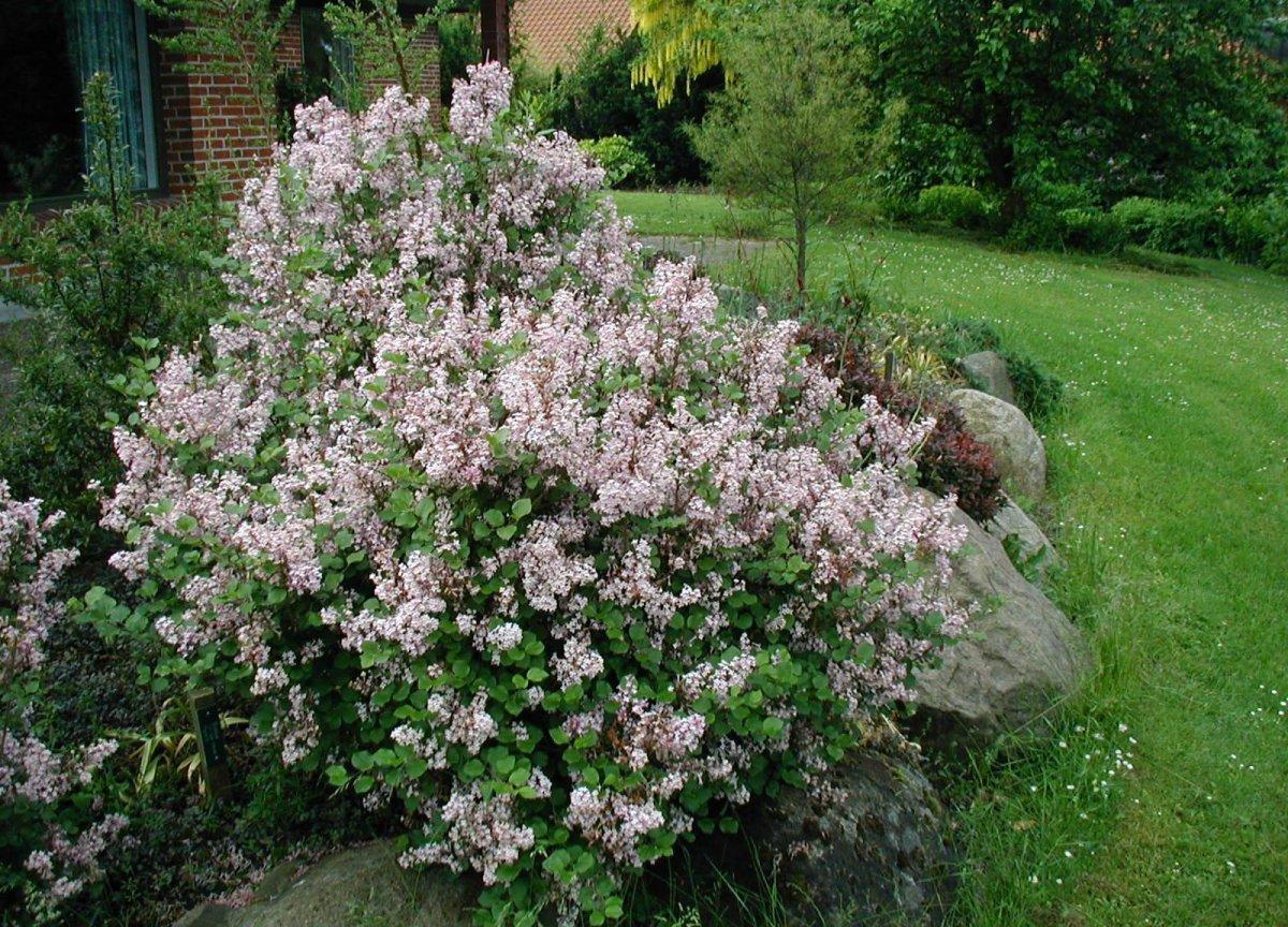 Сирень мелколистная в саду.