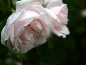 """Сорт """"Розовый венец""""."""