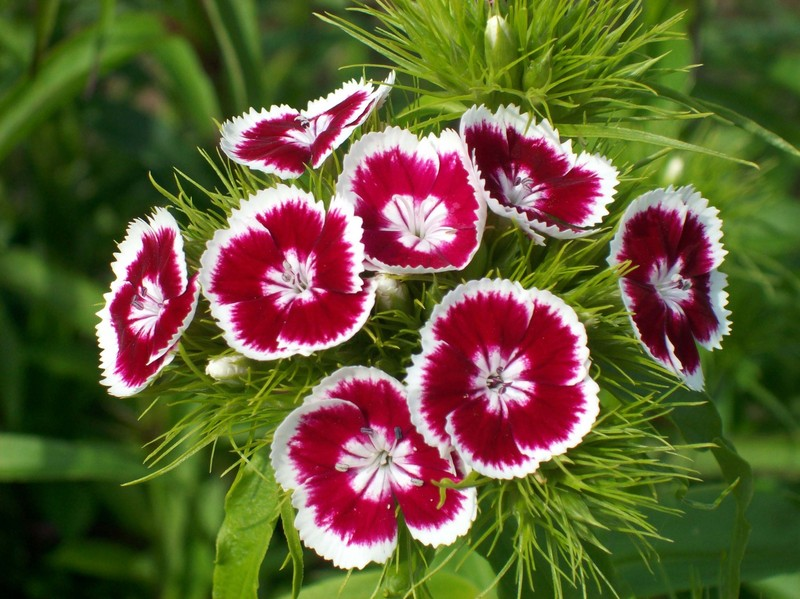 Turkish carnation.