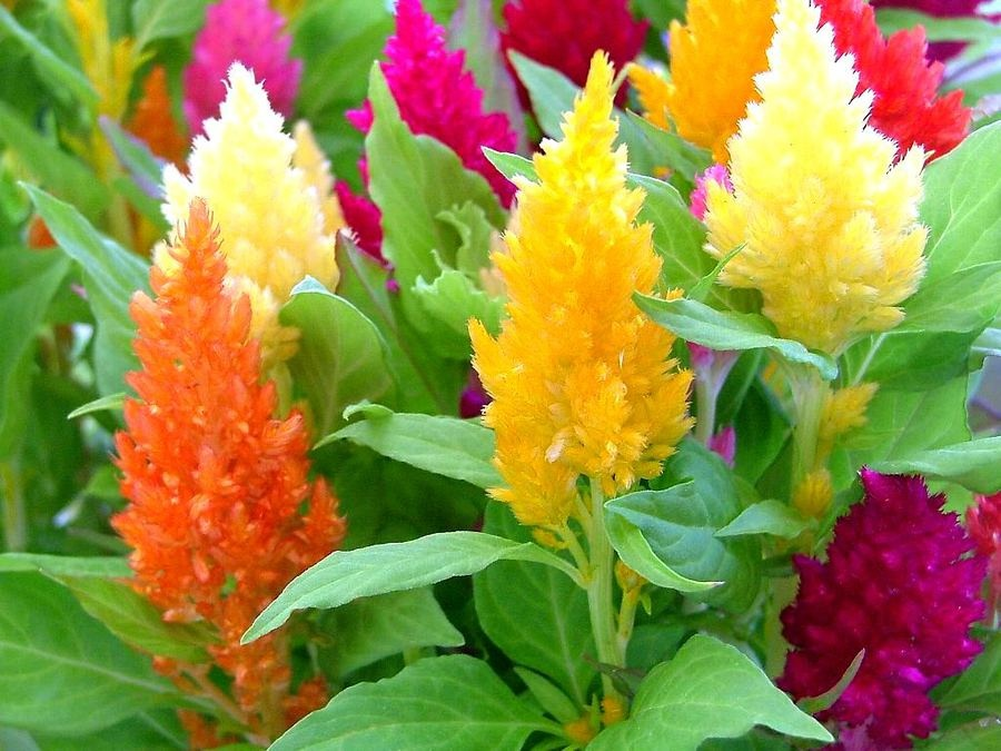 Celosia in the garden.