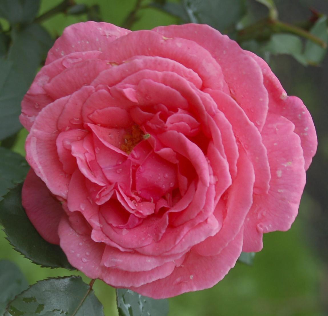 "Чайно-гибридная роза, сорт ""Монтезума""."
