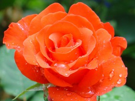Чайно-гибридная роза селекции Кордес.