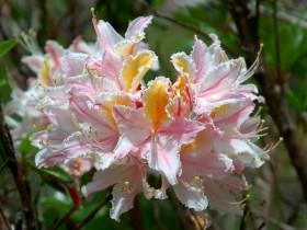 Азалия - один из видов рододендрона.