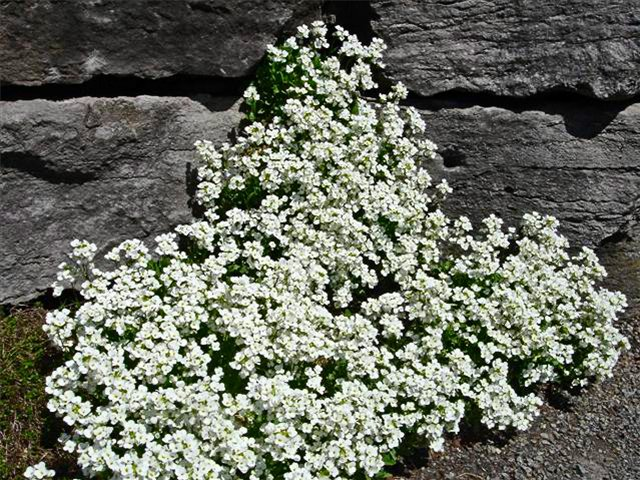 Alpine arabis in spring garden.