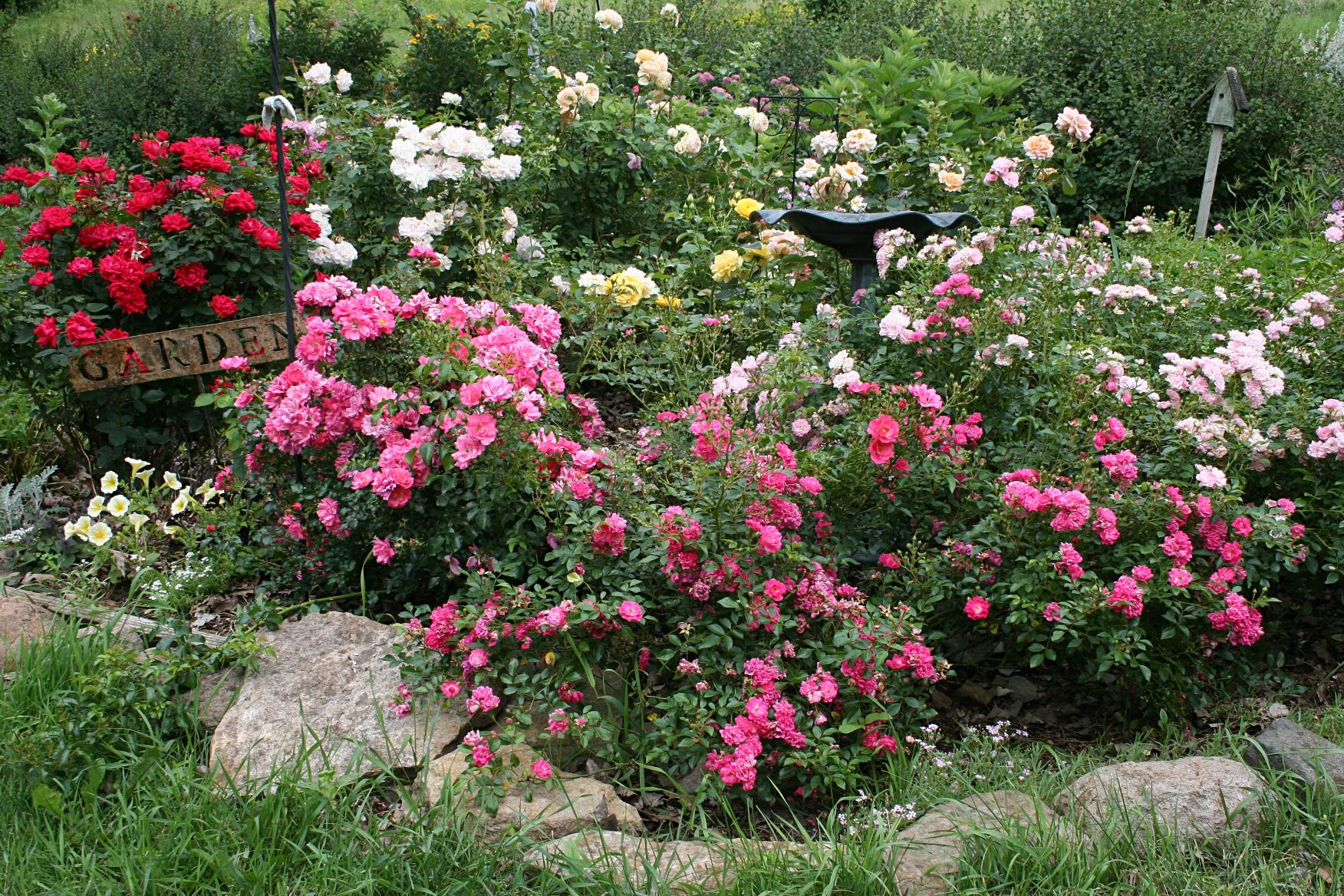 Английский розовый сад.