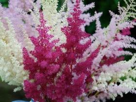 Разноцветное кружево астильбы радует садоводов весь летний сезон.