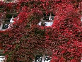Багряно-красная листва девичьего винограда.