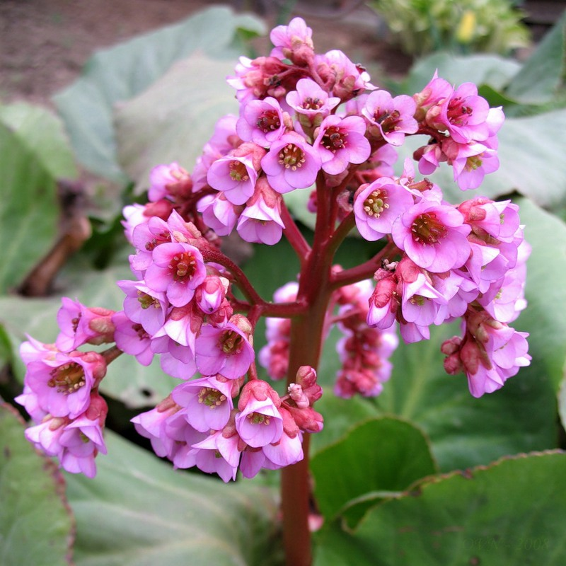 Бадан - неприхотливое растение, хорошо растущее в северных широтах.