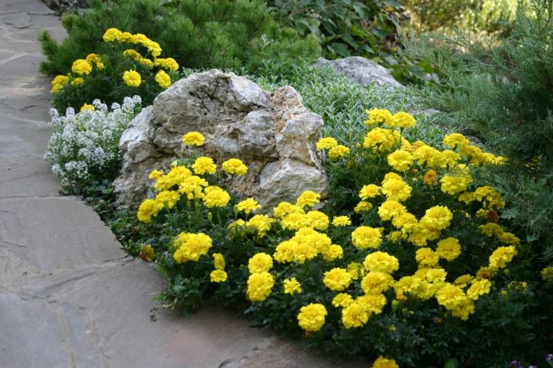 Marigolds near the garden path.