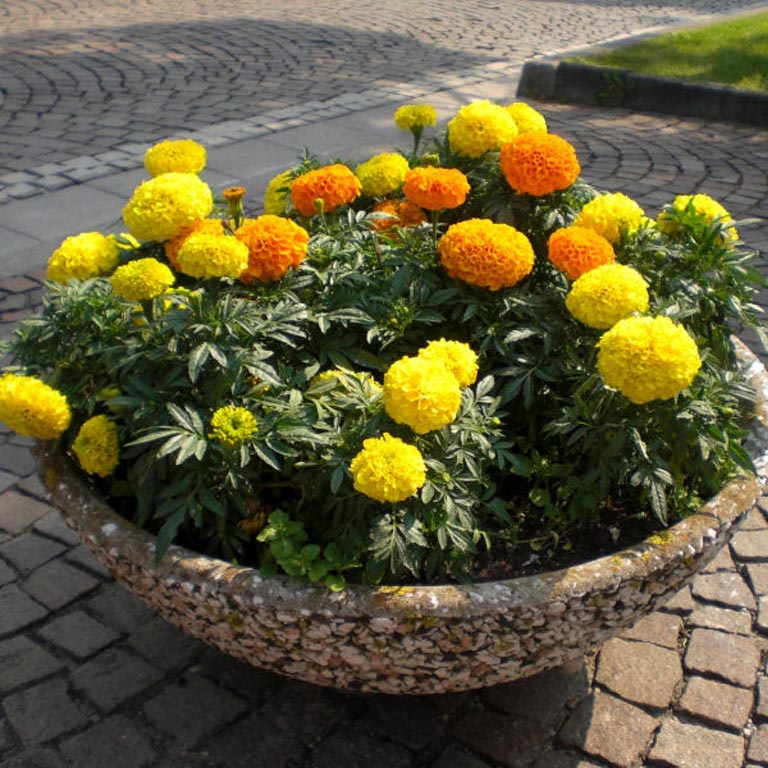 In the photo: marigolds in the pot.