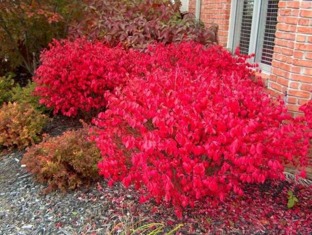 Autumn Euonymus house wall.