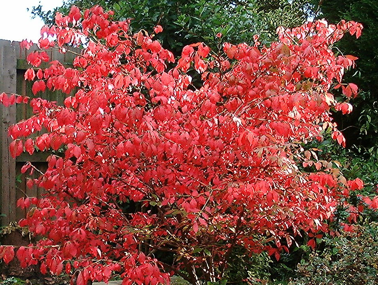 The Euonymus in the fall.