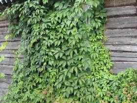 Виноград на фоне деревянной стены.
