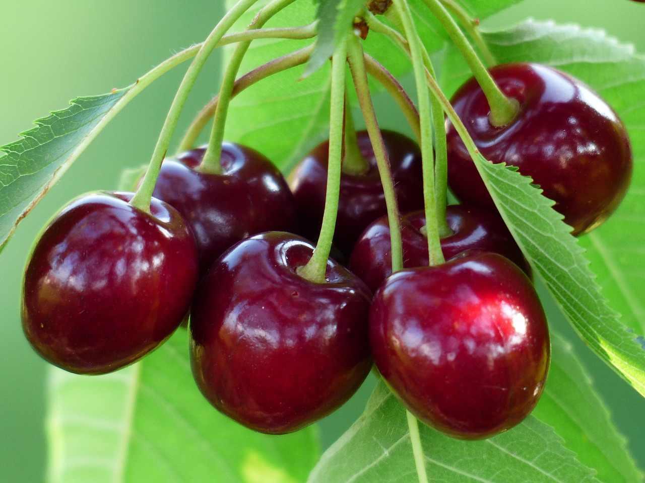На фото: вишня в период плодоношения.