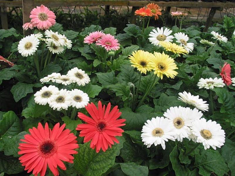 Герберы в саду, микс разных сортов и окрасок.