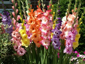 Гладиолусы в саду, композиция.