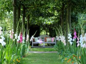 Гладиолусы в саду.