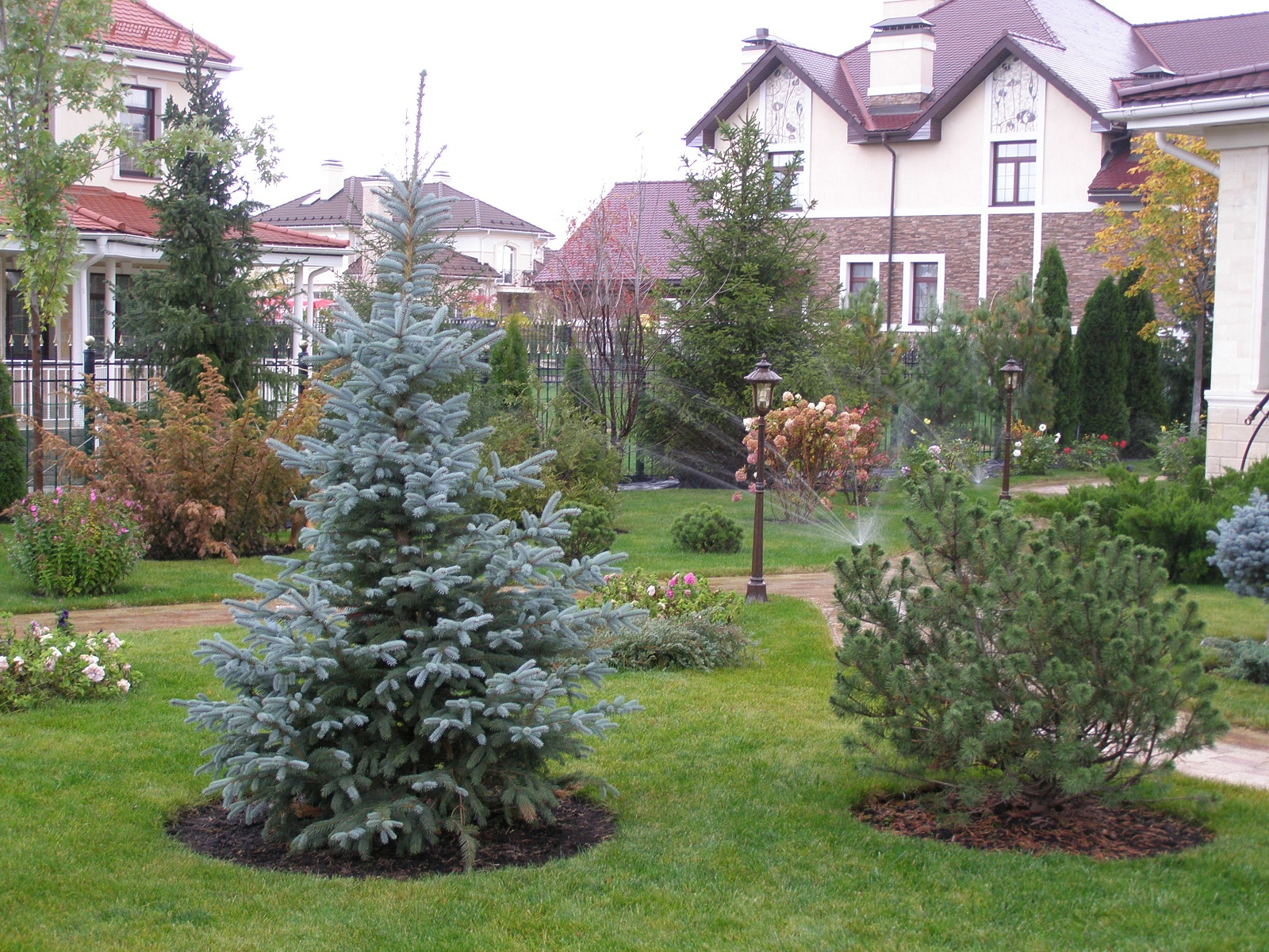 Blue spruce on the plot.