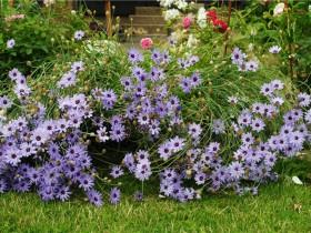 Голубая катананхе в саду.