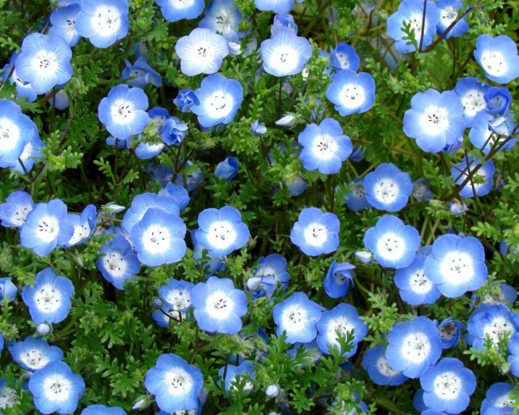42 растения с синими цветками Дизайн участка (Огород. ru) 63
