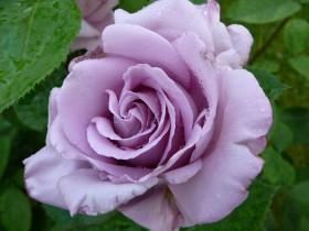 "Голубая роза ""Оксана""."