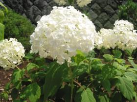Белые шары японской гортензии.