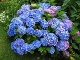 Голубая гортензия - нежная и романтичная.