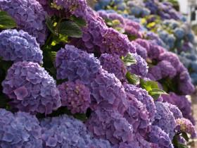 Гортензия с пурпурно-сиреневыми соцветиями.