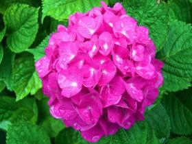 Насыщенно-розовые цветы - яркое пятно на темно-зеленом фоне.