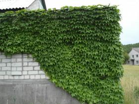 Декоративный виноград на каменной стене.