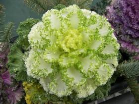 Декоративный сорт с зелеными краями.
