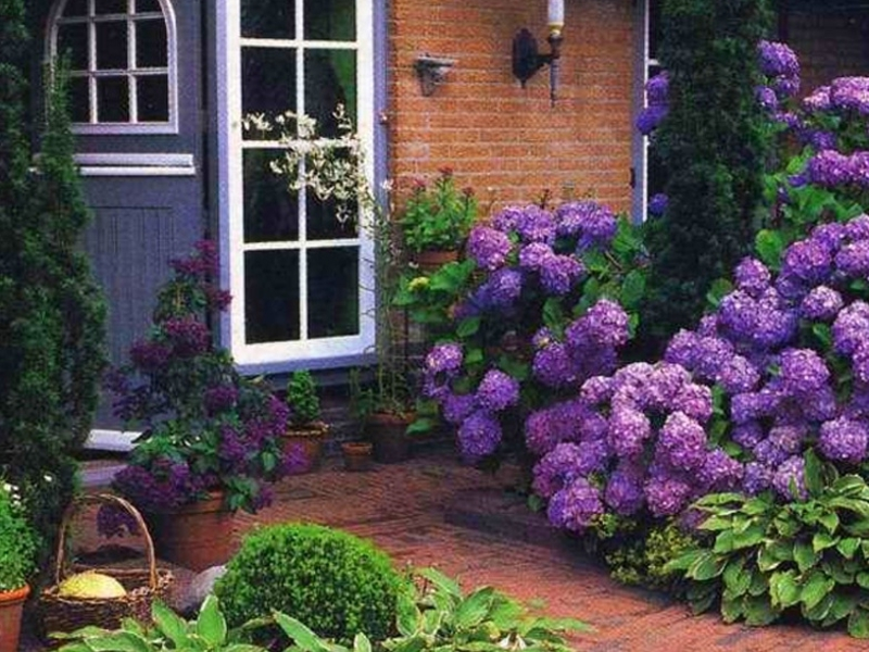 Hydrangea near the house wall, example of landscape design.